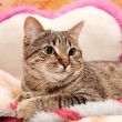 Cat lie On Pillow — Stock Photo #7783709