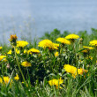 Dandelions on a meadow — Stock Photo