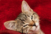 Kitten on a red blanket — Stock fotografie