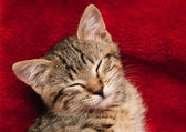 Kitten slapen op een rode deken — Stockfoto