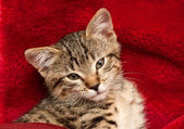 Kitten on a red blanket — Stock Photo