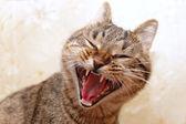 Cat yawning face — Stock Photo
