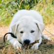 Dog gnaws a stick — Stock Photo