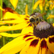 Stock Photo: Honeybee on Yellow Flower