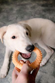 Dog plays with a toy — Stock Photo