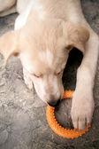 Hund leker med en leksak — Stockfoto