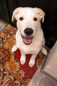 Happy clever dog looks up — Stock Photo