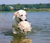 Cachorro jogando com uma bola — Fotografia Stock