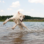 Dog jumping in the water — Stock Photo