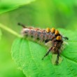 Caterpillar Munching on Leaf — Stock Photo #7879234