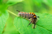 Caterpillar Munching on Leaf — Stock Photo