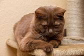 Brown cat British Shorthair — Stock Photo