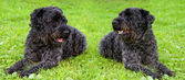 Two dogs kerry blue terrier — Stock Photo