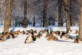 Group of ducks on snow — Stock Photo