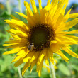 Sunflower with a bee — Stock Photo