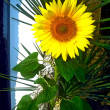 Sunflower — Stock Photo #7784134