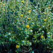 Curlycup Gumweed Grindelia Squarrosa NM USA — Stock Photo