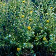 Curlycup Gumweed Grindelia Squarrosa NM USA - Stock Photo