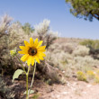 Stock Photo: Helianthus Sunflower Sagebrush Desert New Mexico