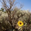 Stock Photo: Helianthus Sunflower Sagebrush New Mexico Desert