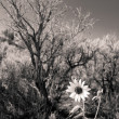 Stock Photo: Black and White Sunflower Sagebrush New Mexico