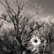 Black and White Sunflower Sagebrush New Mexico — Stock Photo