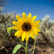 Stock Photo: Sunflower Helianthus Laetiflorus New Mexico USA