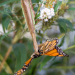 Upside down Praying Mantis Eating Monarch Butterfly - Stock Photo