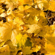 Full Frame Bunch Yellow Autumn Maple Leaves Ground - Стоковая фотография