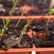 Daisy Seedlings Sprouting Tray Ready Transplanting — Stock Photo