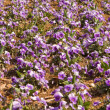 Stock Photo: Full Frame Purple Pansies Flower Garden