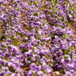 Stock Photo: Field of Purple Pansies in Row