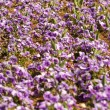Field of Purple Pansies in a Row — Stock Photo