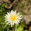 White Dandelion,Taraxacum albidum North East China - Stock Photo