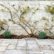 Rose Bush Trained Stone Wall Flagstone Foreground — Stock Photo