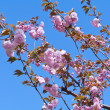Cherry Tree in Full Blossom Pink Flowers Blue Sky — Stock Photo