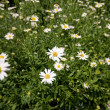 Full Frame Field of Daisies Flowers — Stock Photo