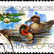 Eurasian, Common Teal, Anas crecca Floating Lake - Stock Photo