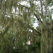 Spanish Moss Hanging from Live Oak, Hilton Head, South Carolina - Stock Photo