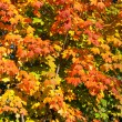 Orange, Red, Yellow Maple Leaves on Tree Fall Autumn — Stock Photo