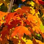 Orange, Red, Yellow Maple Leaves on Tree Fall Autumn — Stock Photo