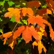 Orange, Red, Yellow Maple Leaves on Tree Fall Autumn - Foto de Stock