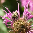 Stock Photo: Bumble Bee Pollinating Pink Bee Balm Flower Genus Monarda