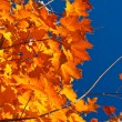 Backlit Orange, Red, Yellow Maple Leaves on Tree Fall Autumn — Stock Photo