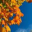 Orange, Red, Yellow Maple Leaves on Tree Fall Autumn Sky — Stock Photo