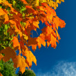 Orange Red Yellow Maple Leaves Tree Autumn Sky — Stock Photo