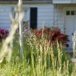 Long Grass Outside Abandoned Cape Cod Single Family Home Marylan - Stock Photo