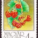 Ungarische Briefmarke rote Himbeeren Obst hängenden bush — Stockfoto