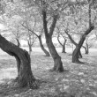 Black White Twisted Cherry Trees in Grove Washington DC - 图库照片