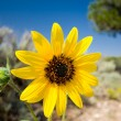 Stock Photo: Yellow Desert Showy Sunflower Helianthus laetiflorus New Mexico